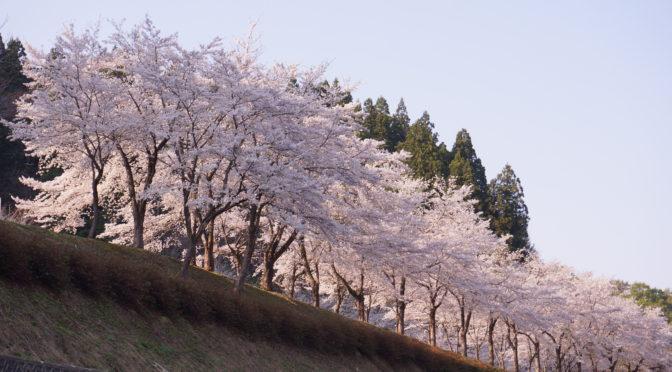 【松之山日記~桜日和~】
